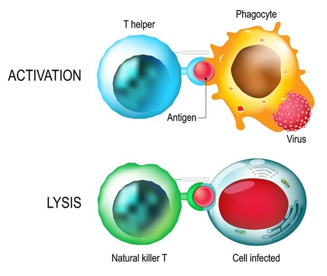 Lymphocyte T. Activation et lysis des leucocytes. Les cellules de T dirigent et règlent des réactions immunitaires et attaquent infecté ou des cellules cancéreuses. Crédit d