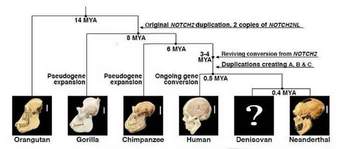 Evolutionary history of NOTCH2NL genes in the great ape lineage. Image Credit: Fiddes et al./Cell DOI: 10.1016/j.cell.2018.03.051