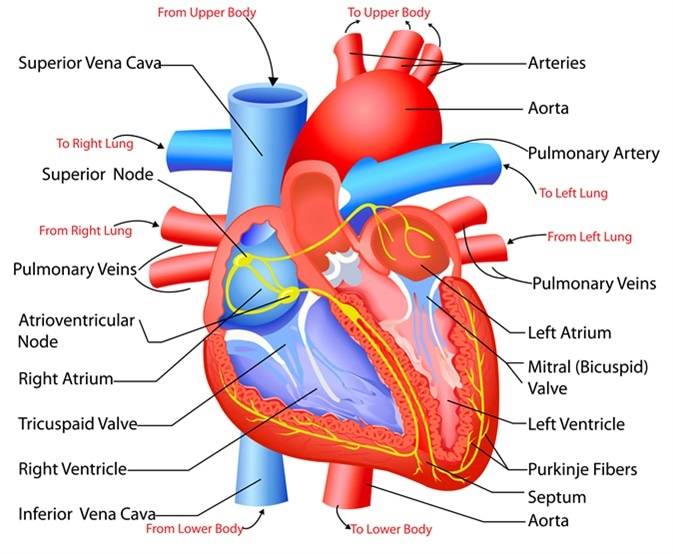 Easy to edit vector illustration of anatomy of heart. Image Credit: Snapgalleria / Shutterstock