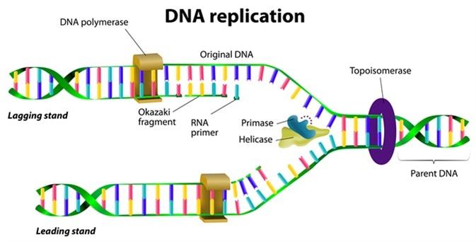 DNA replication. Image Credit: Designua / Shutterstock
