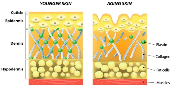 Younger skin and aging skin diagram. Image Credit:  Designua / Shutterstock