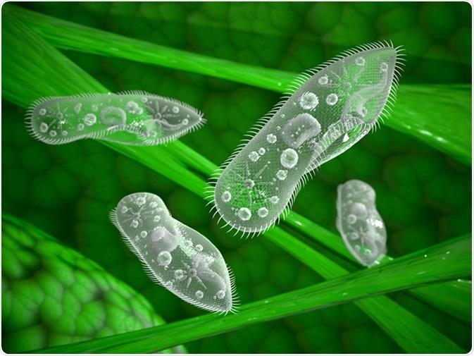 Paramecium protozoa. Image Credit: 3d_man / Shutterstock