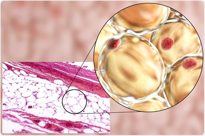 White adipose tissue, light micrograph and 3D illustration, hematoxilin and eosin staining, magnification 100x. Fat cells (adipocytes) have large lipid droplet which remains unstained. Image Credit: Kateryna Kon / Shutterstock