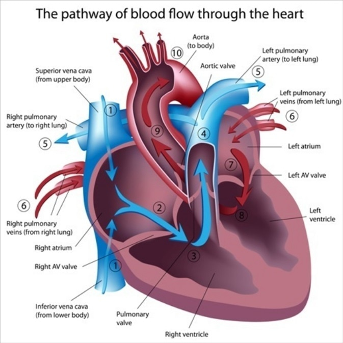 Pathway of blood flow through the heart. Image Credit: Alila Medical Media / Shutterstock