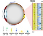 The Chemistry of Human Vision – The Retinoid Cycle