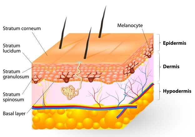 Tissue layers of the human skin