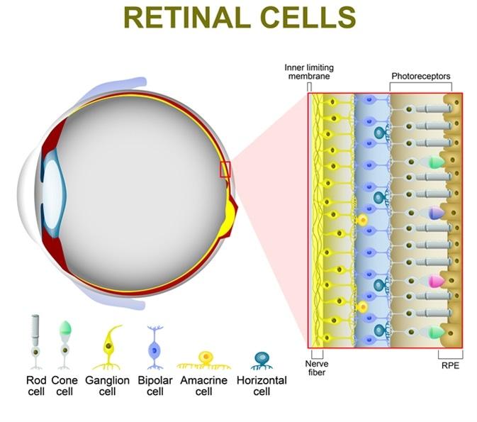 Rod e celle di cono. La disposizione delle celle retiniche è indicata in una sezione trasversale. Credito di immagine: Designua/Shutterstock