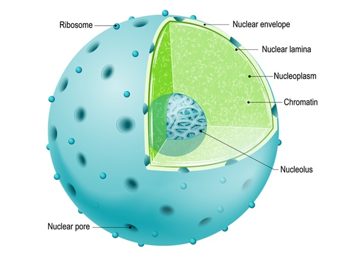 Structure of Nucleus. parts of the cell: nuclear envelope, nucleoplasm, nuclear matrix, chromatin and nucleolus. Image Credit: Designua / Shutterstock