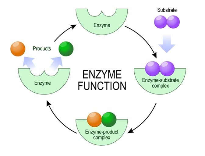 Enzyme function. Image Credit: Designua / Shutterstock