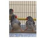 Environmental biologist explores how songbirds stay slim despite overeating