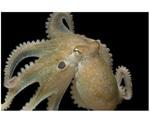 Ecstasy drug makes octopuses more social