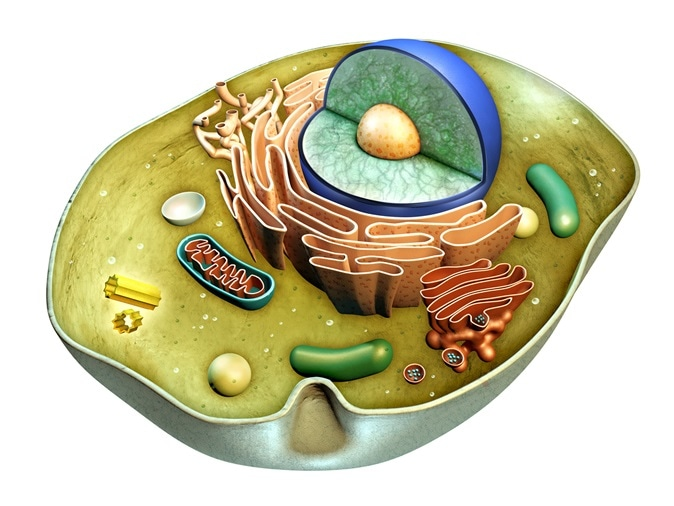 Internal structure of a cell. Digital illustration. Image Credit: Andrea Danti / Shutterstock