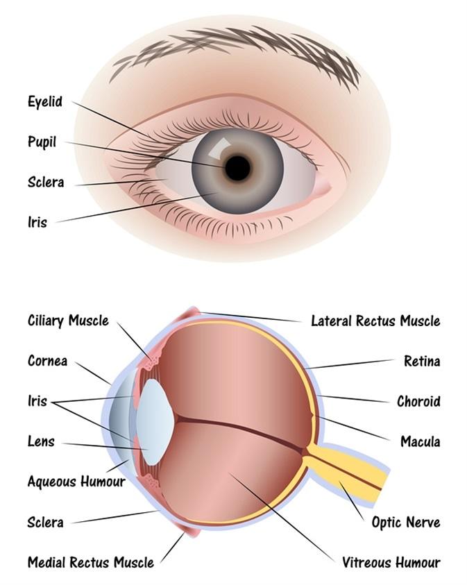Human Eye Diagram. Image Credit: Pablofdezr / Shutterstock