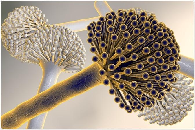 Ejemplo de Digitaces del aspergillus niger de los hongos, molde negro, que producen las aflatoxinas, aspergilosis pulmonar de la infección de la causa. Haber de imagen: Kateryna Kon/Shutterstock