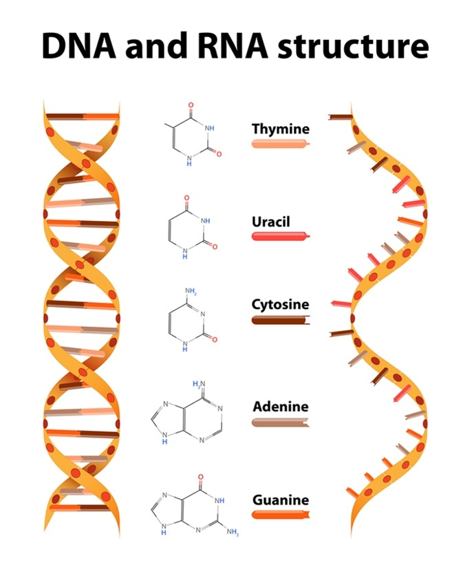 DNA and RNA structure and differences. Image Credit: Designua / Shutterstock