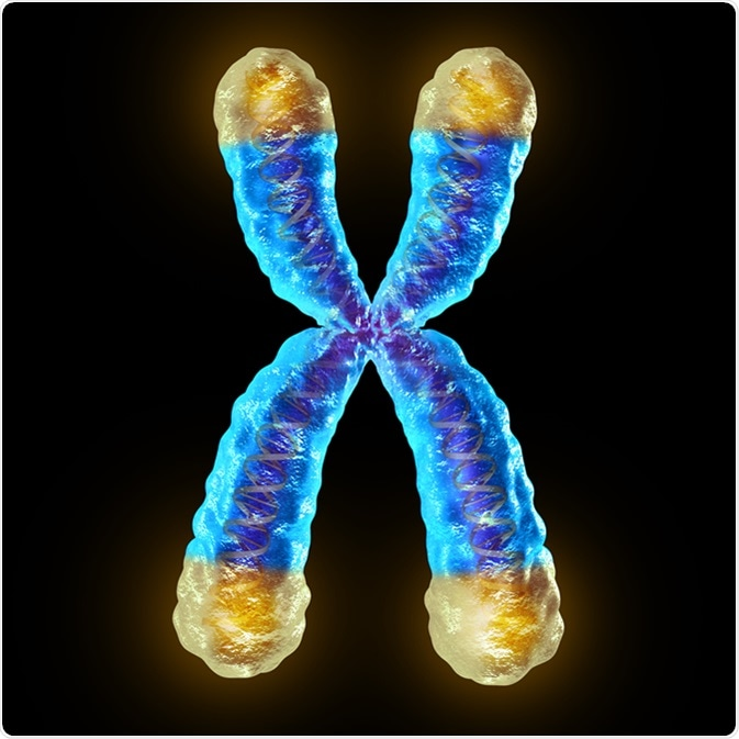 Telomere length medical concept and telomeres located on the end caps of a chromosome resulting in aging by damaging DNA or protection resulting in living longer or longevity as a 3D illustration. Image Credit: Lightspring