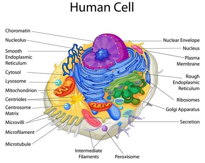 Diagrama de la célula humana. Haber de imagen: Vecton/Shutterstock