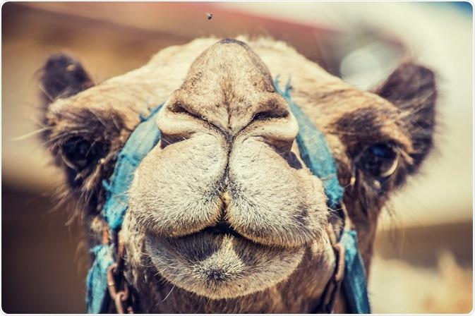 Foto de um camelo - produtor de anticorpos do camelid