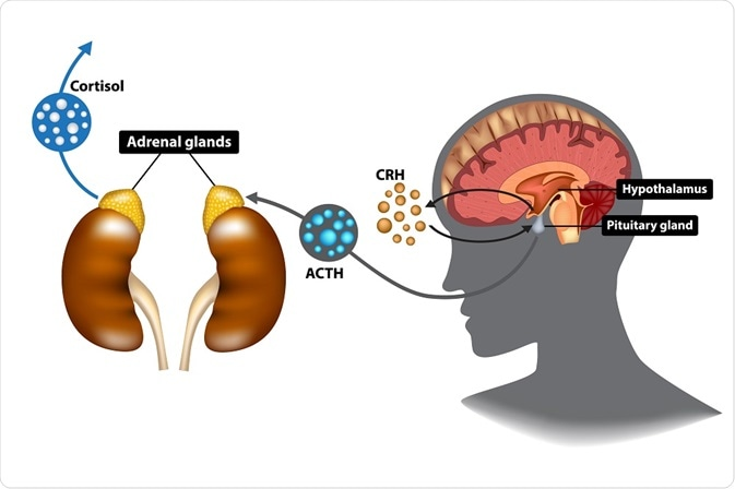 Diagram showing the stress response pathway that corticotropin-releasing hormone is involved in (CRH) - illustration by Sakurra