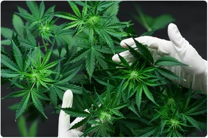 Centrale de cannabis. Crédit d