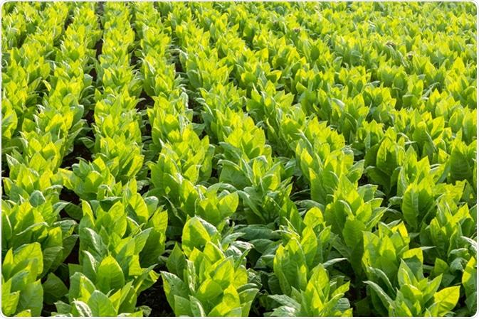 Tobacco field. Image Credit: Ivana Vrnoga / Shutterstock