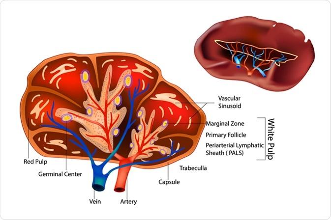 Structure of the Spleen. Image Credit: Sakurra / Shutterstock