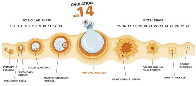 Carta de la ovulación. Ciclo menstrual femenino. Haber de imagen: logika600/Shutterstock
