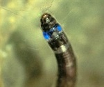 Discovery of first blue light emitting South American insect