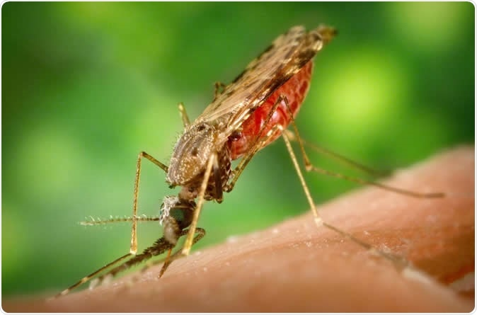 This is a female Anopheles albimanus mosquito taking a blood meal. Some Crithidia parasites are known to parasitize anopheline mosquitoes. Image Credit: CDC/James Gathany