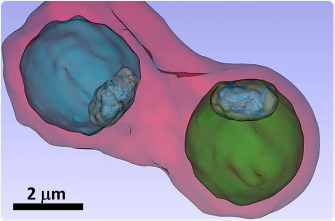 The image shows details such as the vacuole of the parasites (colored in blue and green) inside an infected blood cell. Image Credit: S. Kapishnikov