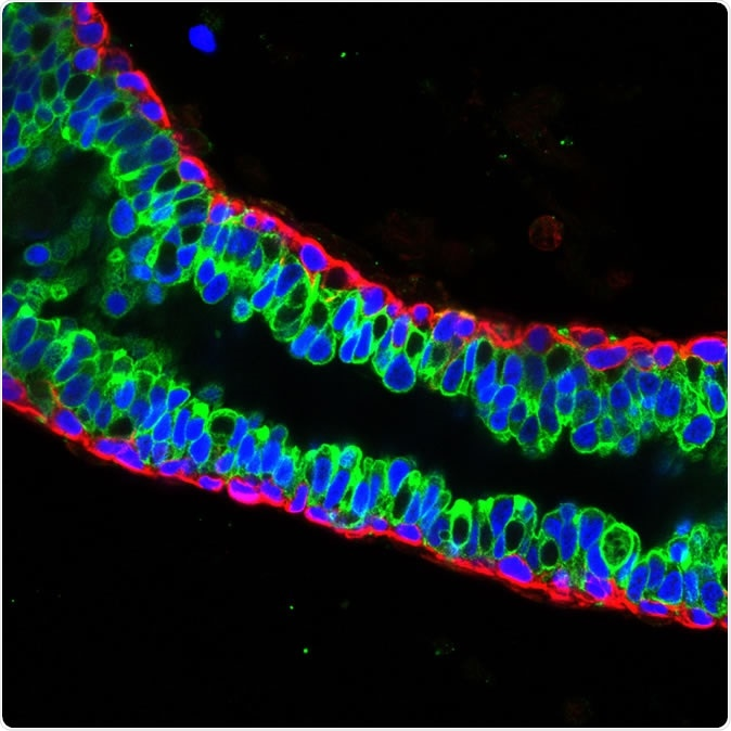 Luminal cells (green) and basal cells (red) in mature mouse breast tissue. Credit: Salk Institute