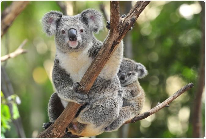 Australian Koala with joey in Eucalyptus tree