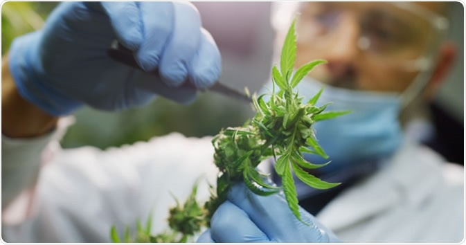 Scientist checking hemp plants in a greenhouse. Credit: HQuality / Shutterstock