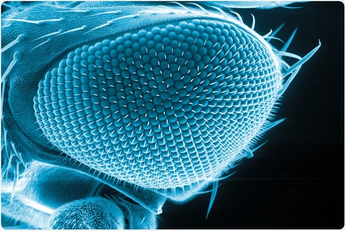 Eye of a fruit fly, Drosophila melanogaster, scanning electron microscopy  Image Credit: Heiti Paves / Shutterstock