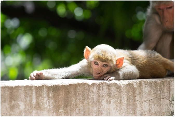 We never forget our torments. Even our DNA has a molecular memory of being bullied, finds a new study of rhesus monkeys. The Rhesus Macaque Monkey. Image Credit: Robert Ross / Shutterstock