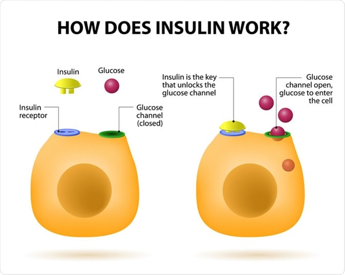 Insulin regulates the metabolism and is the key that unlocks the cell
