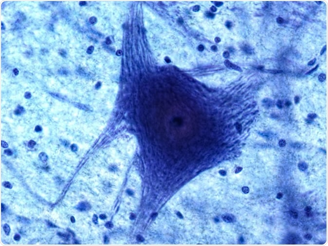 Neuron and glia at 60x. Image Credit: Christopher Meade / Shutterstock