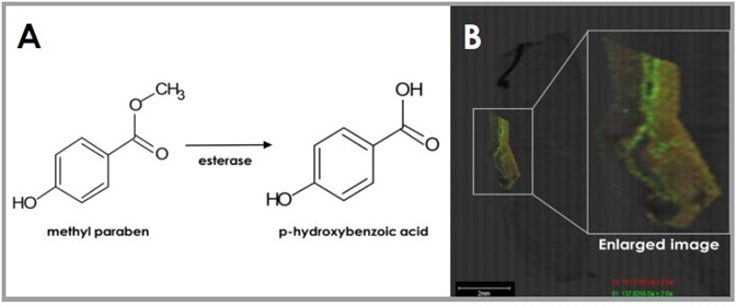 (A) Diagram illustrating metabolism reaction of SB-MSI probe methyl paraben with esterase to form p-hydroxybenzoic acid. (B) MSI image of Labskin treated with methyl paraben highlighting esterase activity (red = methyl paraben and green = p-hydroxybenzoic acid).