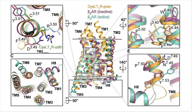 Figure 1. The segments of the CysLT1 receptor responsible for its activation are shown in orange, next to other G protein-coupled receptors. Credit: Luginina et al./Science Advances