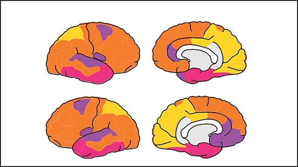 O connectome funcional do cérebro fetal começa a tomar dentro o utero do formulário -