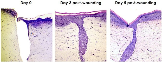 Labskin can be used within the same experimental design to evaluate several endpoints including cytokine responses (i.e. IL-1a, IL-6, IL-8, PGE2, TNFa, IL-10 etc.), histological changes, wound repair and photoreactivity in addition to skin commensal and pathogenic microorganisms.