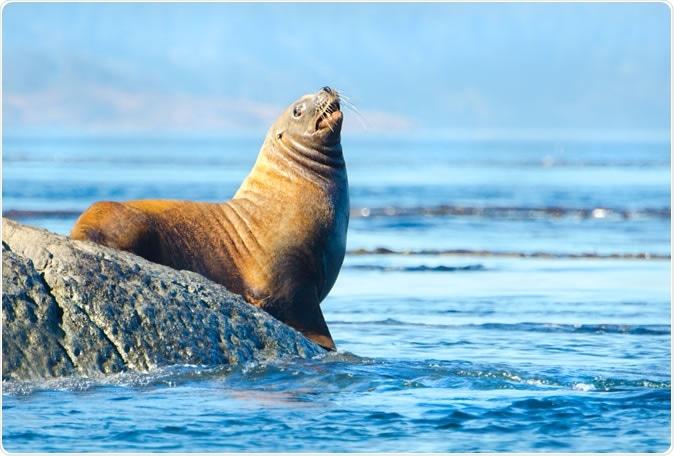 Steller Sea Lion. Image Credit: Birdiegal / Shutterstock