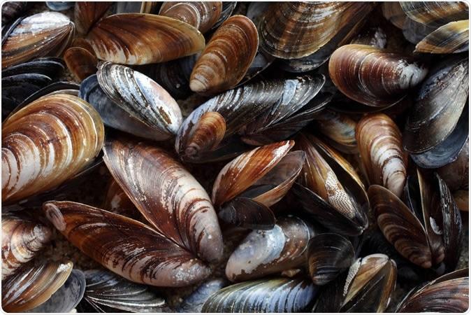 Blue mussel (Mytilus trossulus). Image Credit: Ingrid Maasik / Shutterstock