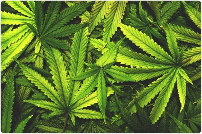 Cannabis leaves. Image Credit: OpenRangeStock / Shutterstock