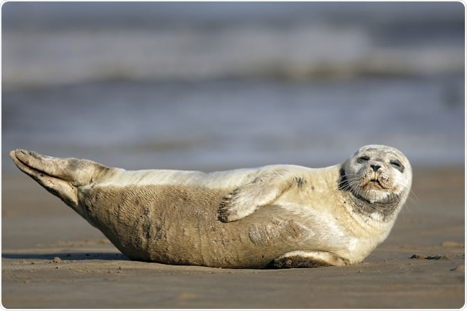 Harbour (Common) Seal (Phoca vitulina) sleeping on the sand, Lincolnshire, England, UK Image Credit: Tony M / Shutterstock