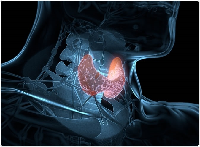 Thyroid gland inside human body. 3D illustration. Credit: Anatomy Insider / Shutterstock