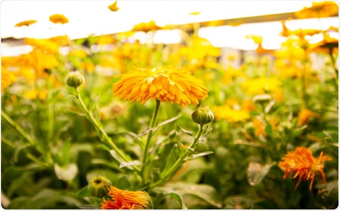 Daisy family (Asteraceae). Image Credit: Earlham Institute (EI)