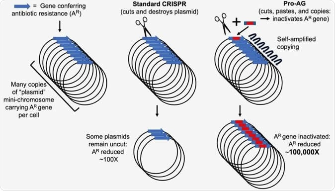 Genes conferring antibiotic resistance (AR) in bacteria (blue arrow) are often carried on circular mini-chromosome elements referred to as plasmids. Site-specific cutting of these plasmids using the CRISPR system, which results in destruction of the plasmid, has been used to reduce the incidence of AR by approximately 100 fold. Pro-Active Genetics (Pro-AG) employs a highly efficient cut-and-paste mechanism that inserts a gene cassette (red box) into the gene conferring AR thereby disrupting its function. The Pro-AG donor cassette is flanked with sequences corresponding to its AR target (blue boxes) to initiate the process. Once inserted into an AR target gene, the Pro-AG element copies itself through a self-amplifying mechanism leading to an approximately 100,000-fold reduction in AR bacteria. Image Credit: Bier Lab, UC San Diego