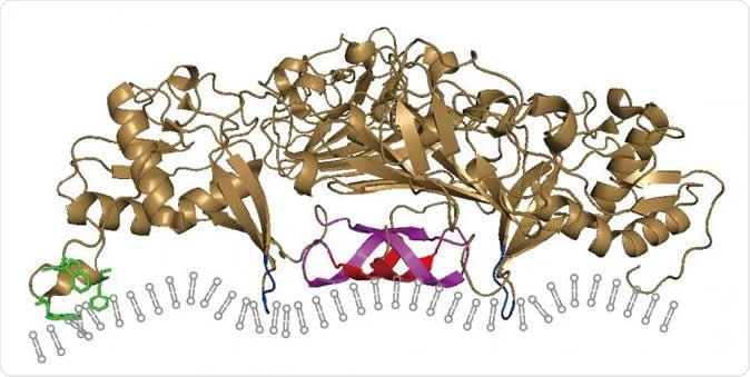 A model of how the Zika virus NS1 protein inserts itself into the ER membranes of its host cell, reshaping them to form a protected viral replication compartment. Image Credit: Ci et al., 2019