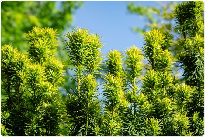 New bright green with yellow stripes foliage on yew Taxus baccata Fastigiata Aurea (English yew, European yew). Image Credit: Marinodenisenko / Shutterstock